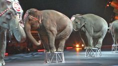 The Ringling Brothers Elephants Take Their Final Bow - World's largest collection of cat memes and other animals Ringling Brothers Circus, Barnum Bailey Circus, Save The Elephants, Pet Loss, Nature Animals, Cat Memes, American Flag, Animal Rescue, Fur Babies
