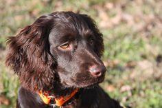Boykin Spaniel, Swamp Poodle, LBD / Little Brown Dog