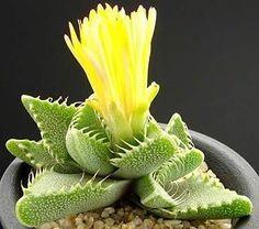 Faucaria tigrina Flowering Succulents, Cacti And Succulents, Planting Succulents, Garden Plants, Planting Flowers, Cactus Planta, Cactus Y Suculentas, Exotic Plants, Bloom