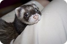 Chantilly, VA - Ferret. Meet Sundance, a pet for adoption. Facts about Sundance      Species: Ferret     Color: Sable     Age: Adult     Sex: Male     Hair: Unknown http://www.adoptapet.com/pet/13607074-chantilly-virginia-ferret