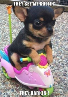 Effective Potty Training Chihuahua Consistency Is Key Ideas. Brilliant Potty Training Chihuahua Consistency Is Key Ideas. Cute Little Animals, Cute Funny Animals, Funny Cats And Dogs, Cute Dogs, Cute Puppy Pics, Cute Animal Pictures, Dog Pictures, Dog Photos, Cat And Dog Videos