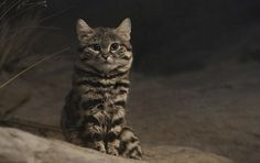 This Petite Cat Is the World's Deadliest. Mini-Series 'Super Cats' Shows You Why The African black-footed cat weighs roughly 200 times less than the average lion, but it has a predation success rate of 60 percent Small Wild Cats, Small Cat, Big Cats, Cats And Kittens, African Wild Cat, African Cats, Beautiful Cats, Animals Beautiful, Majestic Animals