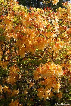 Wild Azalea, Oregon