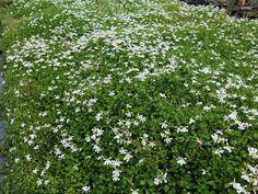 Billedresultat for Pratia Missouri Botanical Garden, Botanical Gardens, Garden Retaining Wall, Tiny White Flowers, Herbaceous Perennials, Plants Online, Edible Garden, Garden Inspiration, Garden Ideas