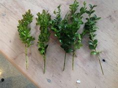 """How to propagate Boxwood: trim the cuttings to 5-6"""" and clean the leaves off the bottoms:"""
