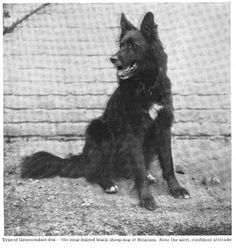 """Groenendael (""""Belgian sheepdog""""), 1911"""