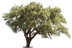 Quercus suber I, Oak tree PNG high resolution, transparent background