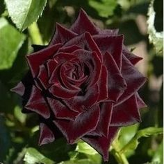 Gorgeous velveteen rose <3