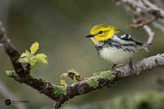 Black-throated green warbler by Martin  Forget on 500px