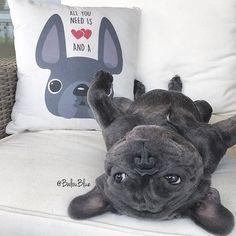 Balou Blue, the Lazy French Bulldog