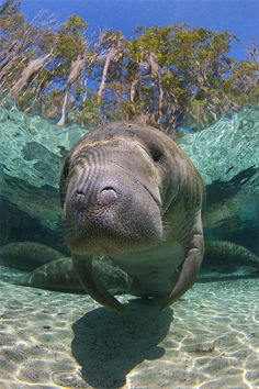 Manatees(familyTrichechidae,genusTrichechus) are large, fully aquatic, mostlyherbivorousmarine mammalssometimes known assea cows.There are three accepted living species of Trichechidae, representing three of the four living species in the orderSirenia: theAmazonian manatee(Trichechus inunguis), theWest Indian manatee(Trichechus manatus), and theWest African manatee(Trichechus senegalensis)