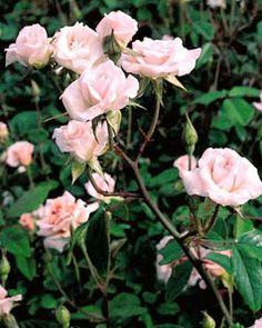 how to make chinese rose bud tea
