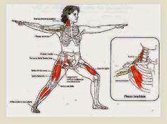 Virabhadrasana 2 Yoga Anatomy, Group Work, Muscle Groups, Asana, Teamwork