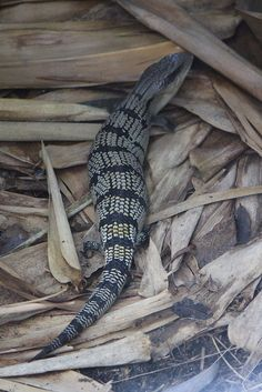 Blue tongue lizard, Tiliqua scincoides ~ great to have a Blue Tongue in the garden, they love snails.