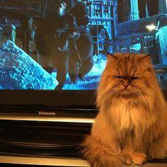 🐒🦍猿より猫でしょ😾アピール中・・・ 映画の邪魔だからどいて😩 #猿の惑星聖戦記 #猿の惑星 #planetoftheapes #movie #映画 #映画鑑賞 #cat #cats #neko #ilovecat #persian #chinchilla #kitten #kittycat #cutecat #ilovemycat #catlife #猫 #ねこ #ねこ部 #愛猫 #チンチラゴールデン #アラレちゃん #ネコスタグラム #catstagram #catsofinstagram #もふもふ