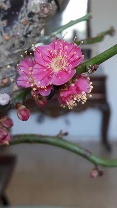 Prunus Mume, Plants, Plant, Planets