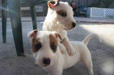 Bull Terrier Mix Bull Terrier Mix Puppy Adoption Terrier Mix