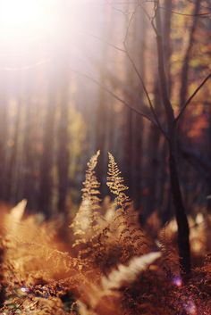 Autumn ferns and light in the woods