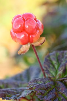 Ätmoget hjortron på hjortronmyr. #Hjortron #Hjortronmyr #Cloudberry #Afterwork #Eldmark #Sorsele #Lappland #Lapland #outdoor