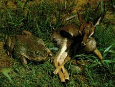 The biggest kind of frog is the Goliath frog (Conraua goliath). They come from Cameroon in West Africa. Their bodies can reach the size of nearly a foot (30 cm) long.(remember: their legs are also AT LEAST that long!!!!)  The Conraua Goliath weighs as much as a large housecat, about 3.3 kilos!   (Yes, that is a baby deer next to that frog!!!!)