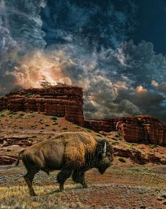 American Bison, PHOTOGRAPHER peter holme iii