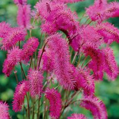 Bottlebrush Plant Stands out in Sunny Borders!   Soft pink, caterpillar-like…