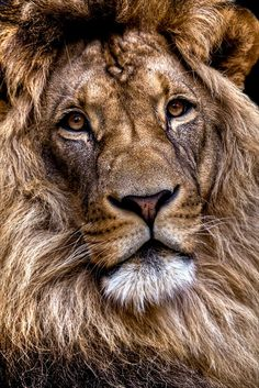 Lion by Ander Aguirre./ new thought.time is showing on this facinating animals face.and it is beauty and wear.hope his travels are and were good. Beautiful Cats, Animals Beautiful, Animals And Pets, Cute Animals, Wild Animals, Vida Animal, Wow Photo, Gato Grande, Lion Of Judah