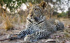 A resting leopard