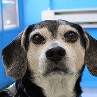 Cute+Muttville+mutt:+Billy+3679+(Beagle+ +Male+ +Size:+medium+(20-50+lbs))