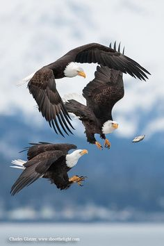 Bald eagles chasing after a dropped fish, AK. Photo Charles Glatzer. Wow!