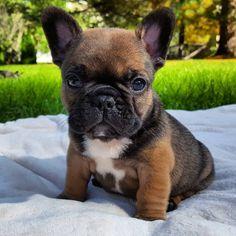 Cayne jr, French Bulldog Puppy❤️