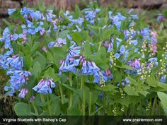 Important early spring flowers for bees. Mertensia-virginica-Virginia-bluebells-Mitella-diphylla-Bishops-Cap