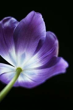 Tulip in Radiant Purple Colors