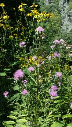 Wildflowers on the trail. Gorges State Park, Wildflowers, State Parks, Trail, Plants, Wild Flowers, Plant, Planting, Planets