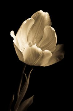 My sweet fiancee takes excellent photos. This tulip is beautiful. Nikon D7000, Fiancee, Focal Length, Shutter Speed, Tulips, Photos, Pictures, Sweet, Flowers