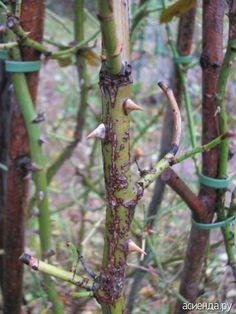 Инфекционные заболевания роз. Инфекционный ожог или стеблевой рак..: Группа Цветы и флористика Plants, Garden, Farm, Rose, Flowers, Farm Gardens, Clematis