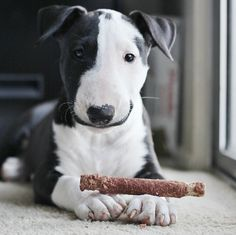 I would like to experience a bull terrier. Bull Terrier Funny, Mini Bull Terriers, English Bull Terriers, Beautiful Dogs, Animals Beautiful, Cute Puppies, Dogs And Puppies, Corgi Puppies, Pet Dogs