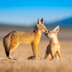 Kit Foxes (Vulpes macrotis) by Jason Sims on 500px