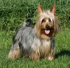 Australian Silky Terrier Dog Breed Pictures