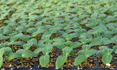 Огурцы на начальном этапе можно выращивать в рассадных кассетах, а позднее перевалить в более просторные емкости