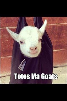 Pigmy Goat