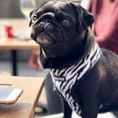 Miss Maggie in her soft zebra print harness available at www.ilovepugs.co.uk  sizes S-XL post worldwide Animals And Pets, Baby Animals, Cute Animals, Cute Pugs, Funny Pugs, Teach Dog Tricks, Yorkshire, Baby Bulldogs, Dog Hacks
