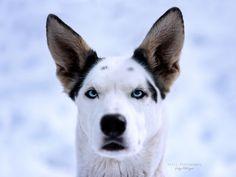 Hunde - Felli Photography - Vicky Fellinger Online Galerie, Dog Photography, Husky, Dogs, Animals, Graz, Photo Shoot, Animales, Animaux