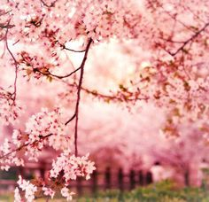 would  love to be in a place surrounded by these beautiful cherry blossom #Japan