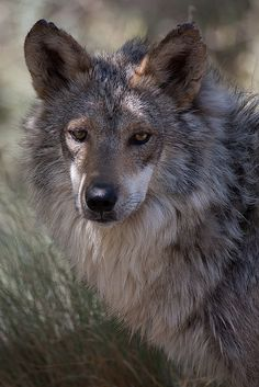 The Mexican Wolf is the smallest subspecies of gray wolf. This is Shep and he lives at The Living Desert in Eagle Canyon. Animals And Pets, Cute Animals, Wild Animals, Baby Animals, Beautiful Creatures, Animals Beautiful, Wolf World, Mundo Animal, Fox Animal