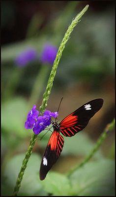 Heliconius Doris Butterfly  Al igual que nosotros, la mayoría de los insectos prueban la comida con sus bocas. Sin embargo, las mariposas pueden saborearla con los pies. ¡Sólo necesitan aterrizar en la flor para conocer el plato del día!