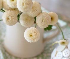 ♡Matricaria White Button