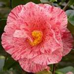 Camellia japonica Betty Foy Sanders