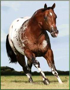 Appalusa horses aqha