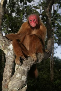 This is the bald uakari! Also called bald-headed uakaris, they are native to the western Amazon, residing in Peru and Brazil; Colombian populations may already be extinct. They prefer várzea forests that flood seasonally. Diets vary seasonally too—fruits and leaves (the bounty of the canopy) during flooding; seeds, nuts, roots, and insects in the dry season. Threatened by forest loss and hunting; populations are decreasing. They are Vulnerable. Read their story!